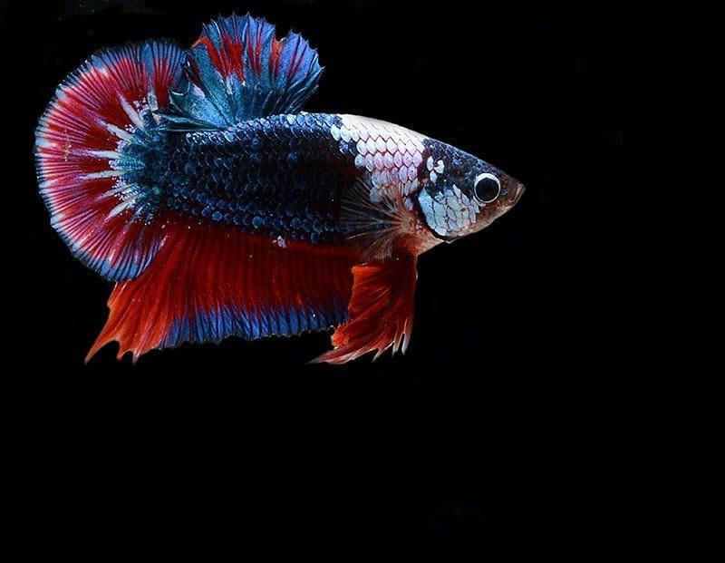 Unduh 880 Koleksi Gambar-gambar Ikan Cupang Terbaru