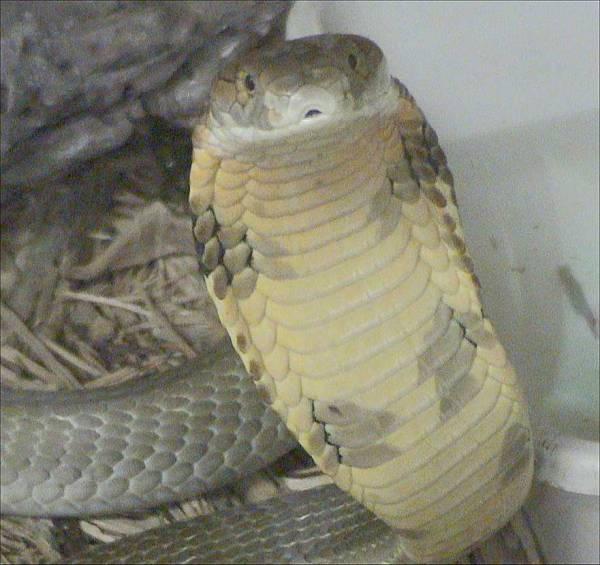 King Cobra, Ular berbisa terpanjang di dunia