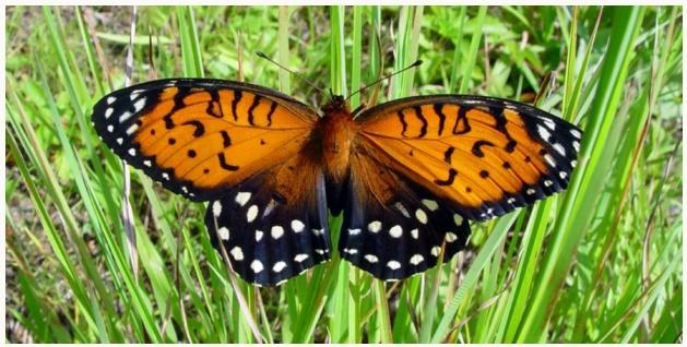 Regal Fritillary Butterflies
