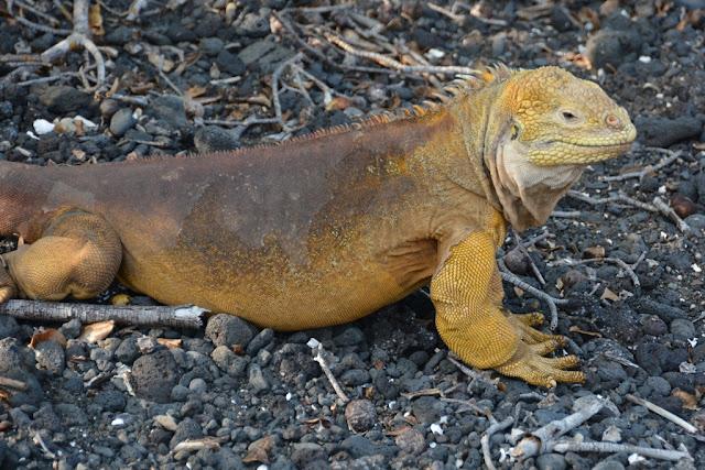 Urbina Bay Galapagos super iguana