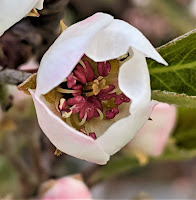 A white-pedalled flower with reddish insides--also from a tree.