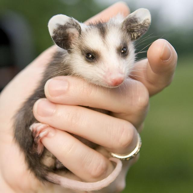 Etsy For Animals: When an Opossum Smiles at You    by