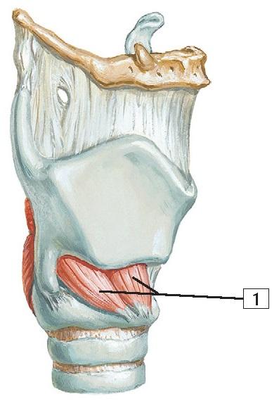 Intrinsic Muscles of Larynx Anatomy