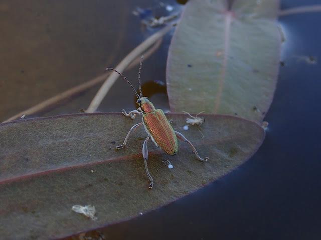Kimmeltävä metallinvärinen kovakuoriainen kasvinlehdellä veden pinnalla.