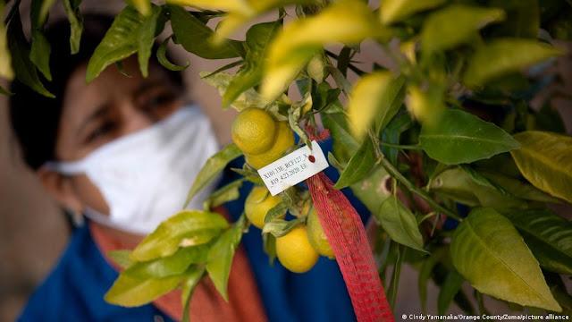 Πορτοκάλια και λεμόνια μπορεί να γίνουν είδη πολυτελείας στο μέλλον
