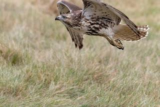 الباز ذو الذيل الاحمر  Red-tailed Hawk