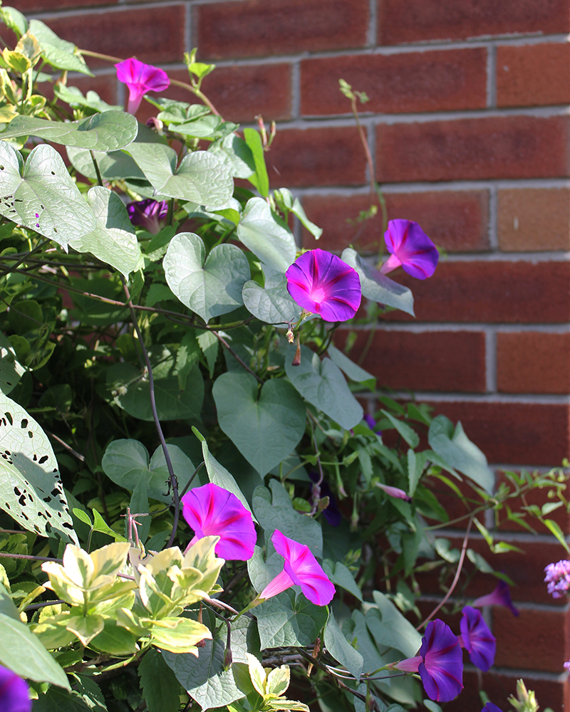 Morning glory vines against a brick wall