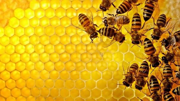 5 Fakta Menarik Lebah Yang Harus Kamu Ketahui