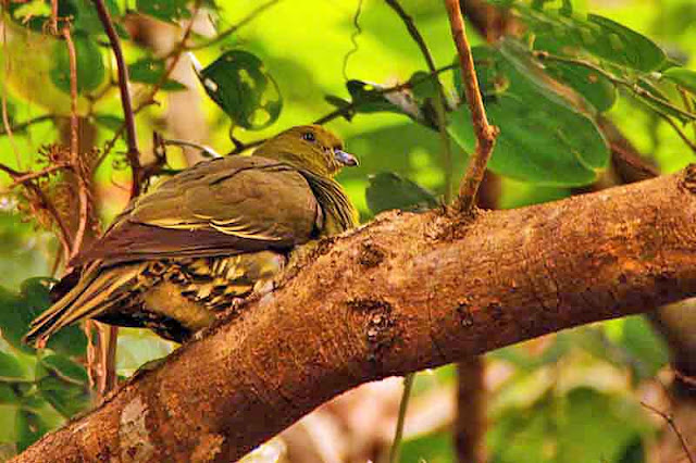birds, wildlife, Okinawa, Ryukyu, pigeon