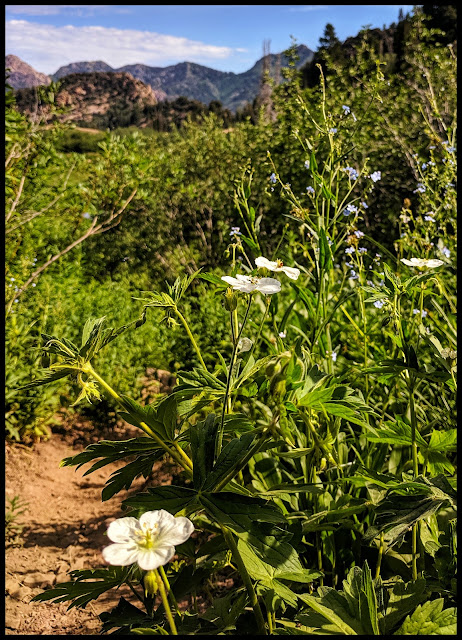Hardy White Geranium Flower alongside the trail looking North towards Big Cottonwood Canyon