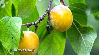 'Gold Dust' Plum Tree