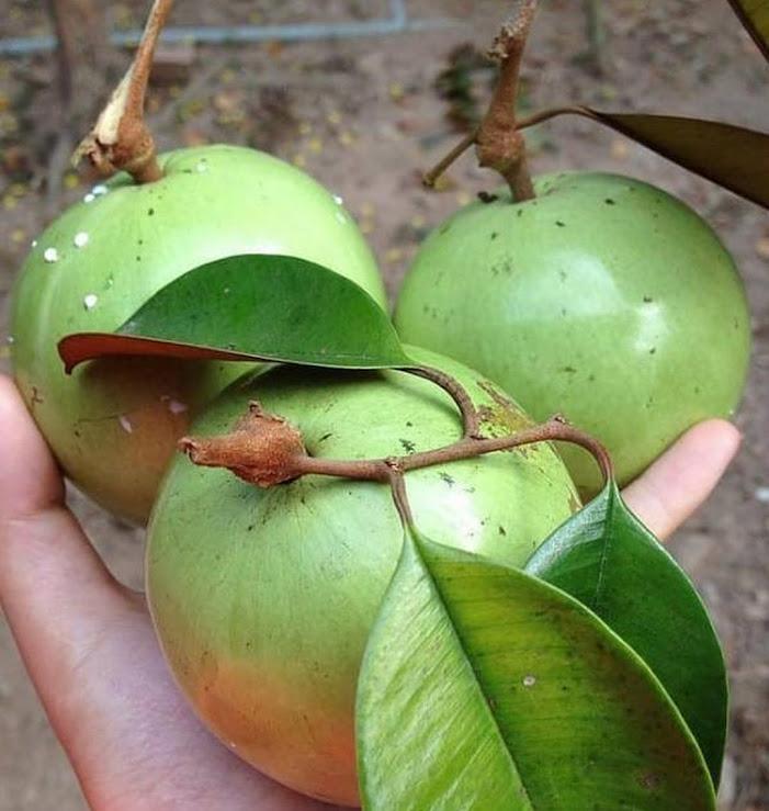 Bibit Buah Kenitu Sawo Durian Berkwalitas Harga Terjangkau Depok