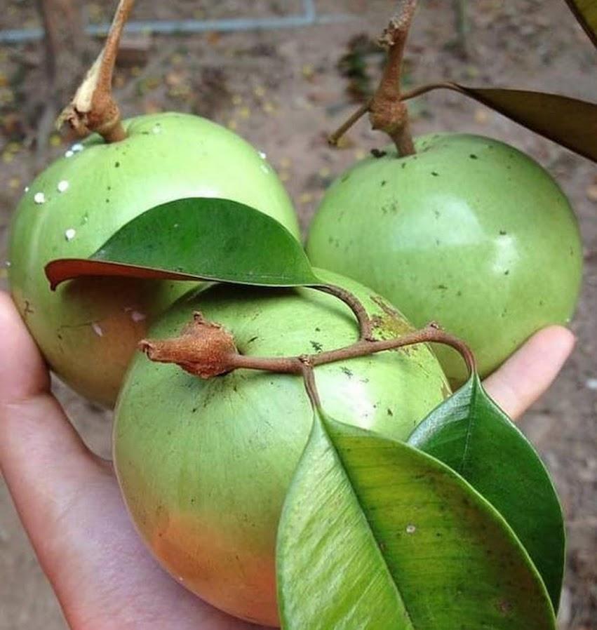Bibit Buah Kenitu Sawo Durian Berkwalitas Harga Terjangkau Jakarta