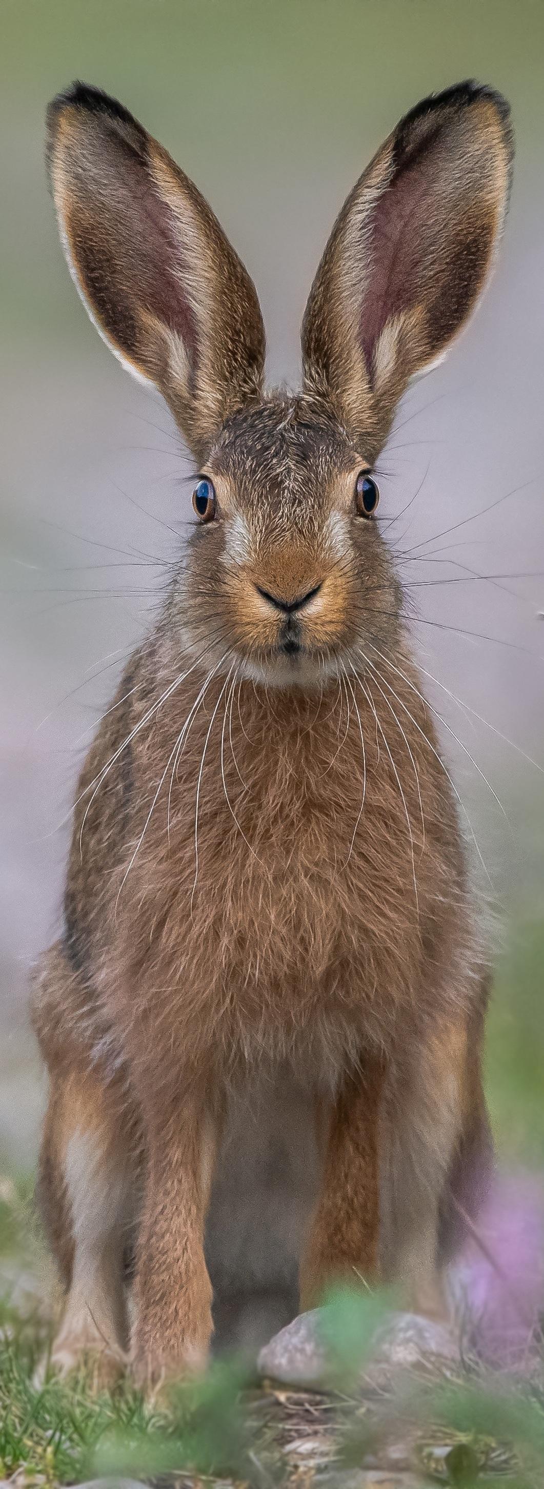 Hare all ears.