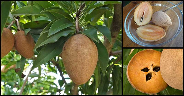 Hair And Skin Benefits Of Chico (Sapodilla Fruit)