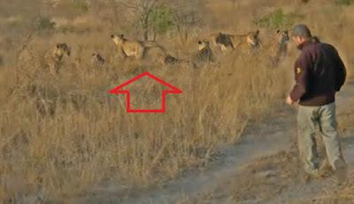 Berjalan ke arah kawanan singa