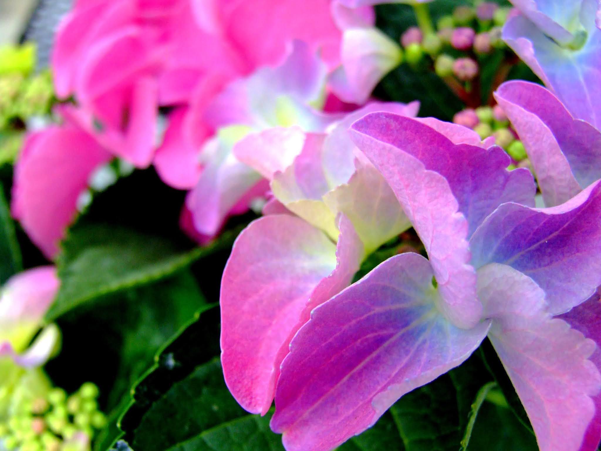 ピンクと紫のグラデーションがキレイなガクアジサイのドアップの写真素材です。ガクと葉っぱの色のバランスが絶妙です。