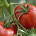Khasiat tomato dan petua merawat 18 jenis penyakit