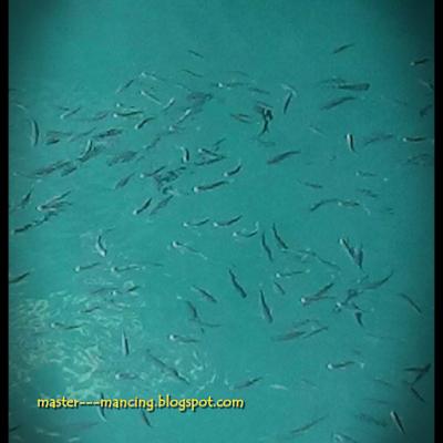 Cara Gampang Mancing Belanak, di Muara Laut