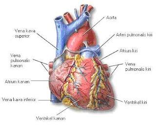 Organ Jantung pada Sistem Peredaran Darah