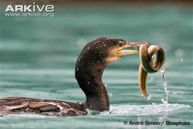 eel and birds