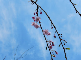 明月院の枝垂れ桜