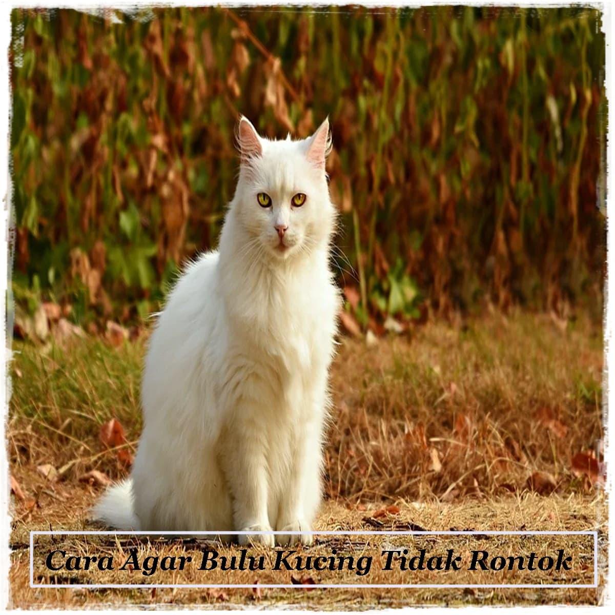 Cara Agar Bulu Kucing Tidak Rontok