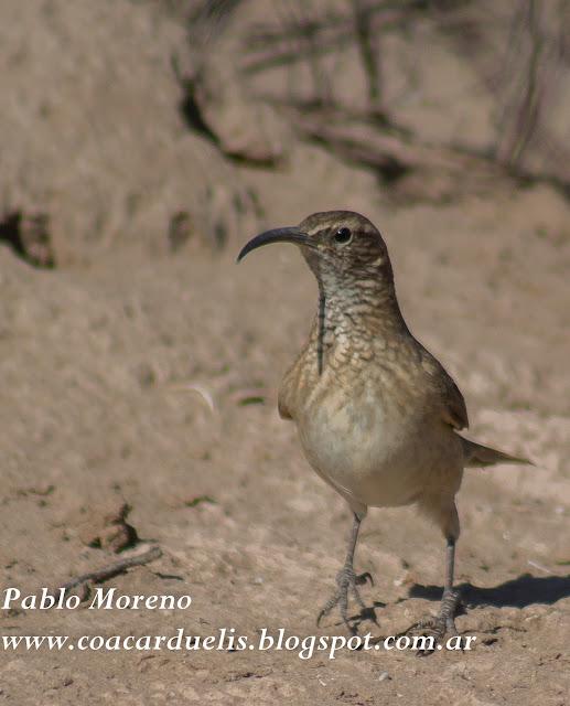 """alt=""""bandurrita comun,aves de Mendoza"""""""