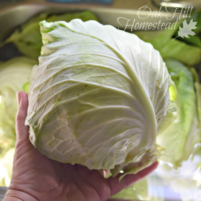 A head of cabbage from the garden.