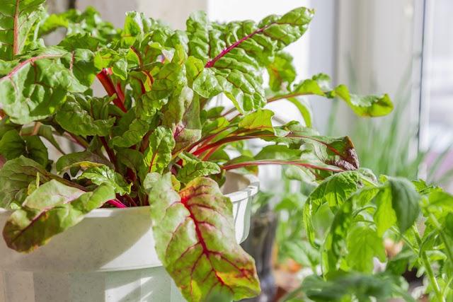 Фрукты и овощи для начинающих, которые можно выращивать в квартире - свекла.