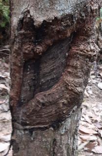 https://www.kangkaret.com/2019/12/akibat-menyadap-pohon-karet-yang-tekayu.html