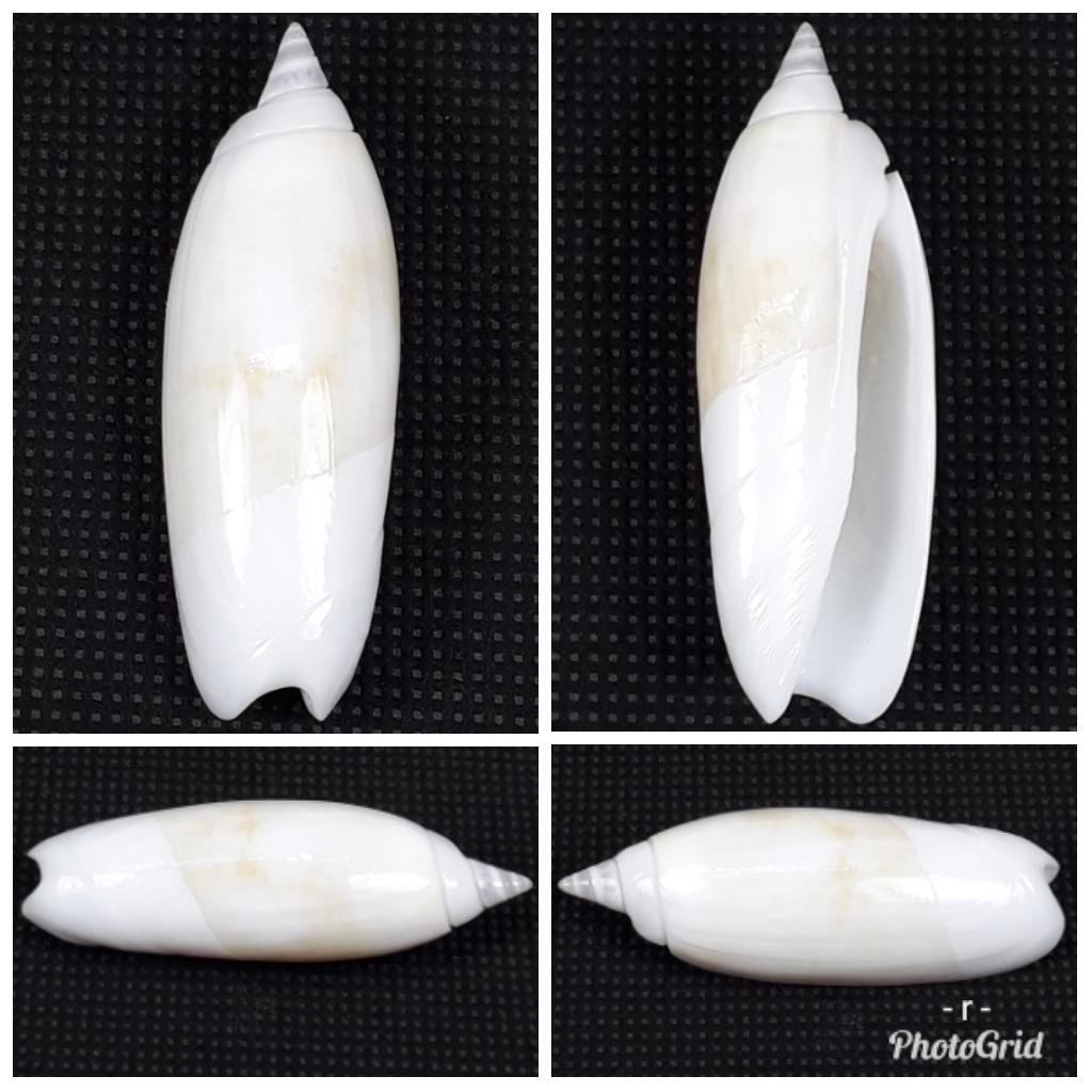 demander l'authenticité des coquilles olividae 196