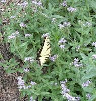 tiger swallowtail butterfly nectaring on clasping heliotrope