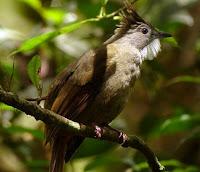Burung Cucak Jenggot Medan