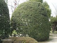 Camphor tree, Tokushima, Japan