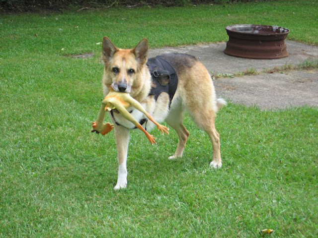 German Shepherd tri paw with rubber chicken in its mouth