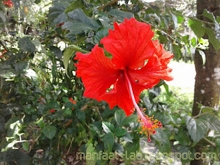 Indahnya bunga sepatu merah ini