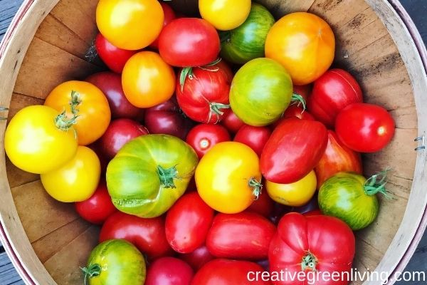 Basket of yellow, red and green homegrown tomatoes