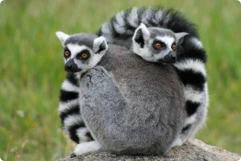Lémures_Madagascar