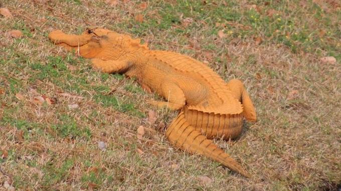 Trumpgator, el caimán naranja