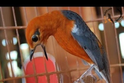 Cara Mudah Membuat Burung Anis Merah Teler dan Gacor