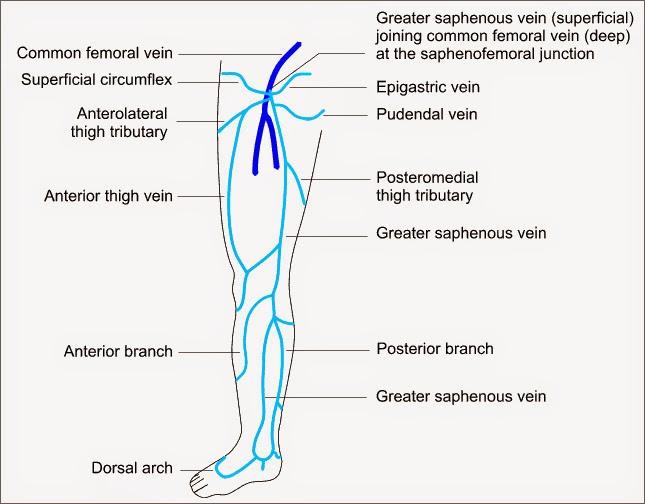 varicosities of the lower limb veins | dipnb clinical tutorials, Cephalic Vein