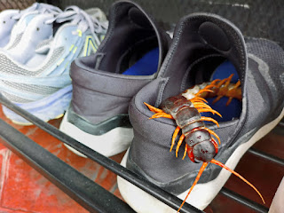 A large back and yellow centipede crawling out of a grey tennis shoe with white bottoms. There is a white pair next to it.