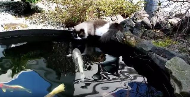 https://ratupelangi-net.blogspot.com/2018/09/awas-kucing-ini-dikira-hendak-memangsa.html