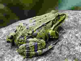 hewan amfibi