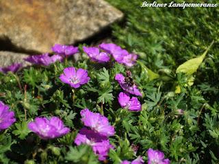 Storchschnabel: Garten im Mai