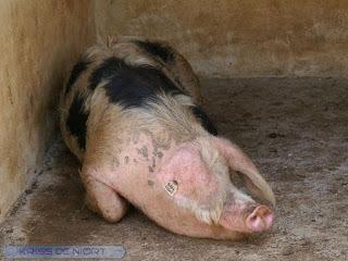 Porc de Bayeux - Cochon de Bayeux