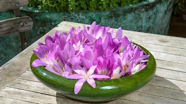 Bulbos que florecen en otoño: Colchicum