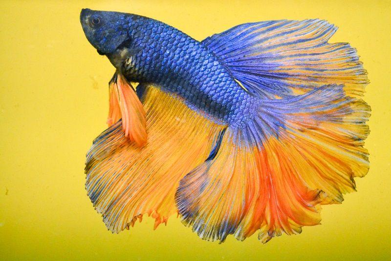 Image Rosetail Exotic Betta Fish
