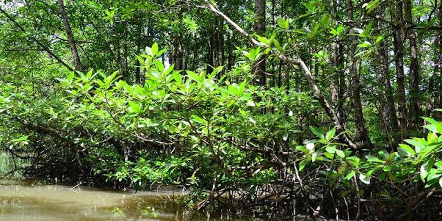 5 Manfaat Hutan Mangrove